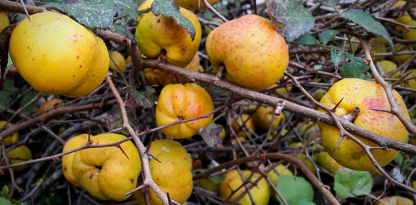 Bartenders' guide to foraging: Flowering quince image 1