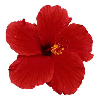 Hibiscus Flower Red Petals