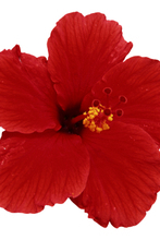 Hibiscus Flower (Red) Petals