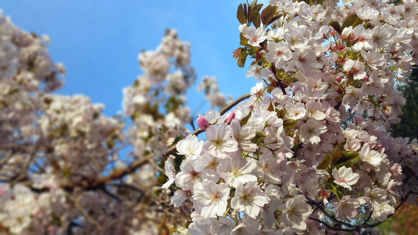 Bartenders' guide to foraging: Cherry blossom image 1