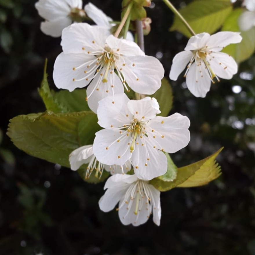 Bartenders' guide to foraging: Cherry blossom image