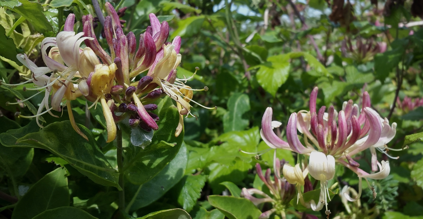 Bartenders' guide to foraging: Honeysuckle image 1