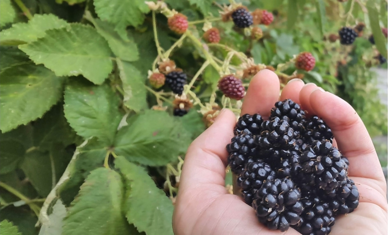 Bartenders' guide to foraging: Blackberries image 1
