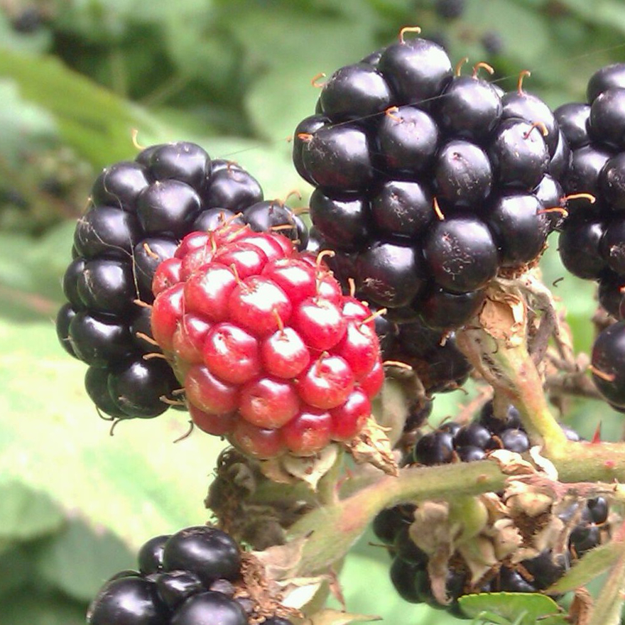 Bartenders' guide to foraging: Blackberries image
