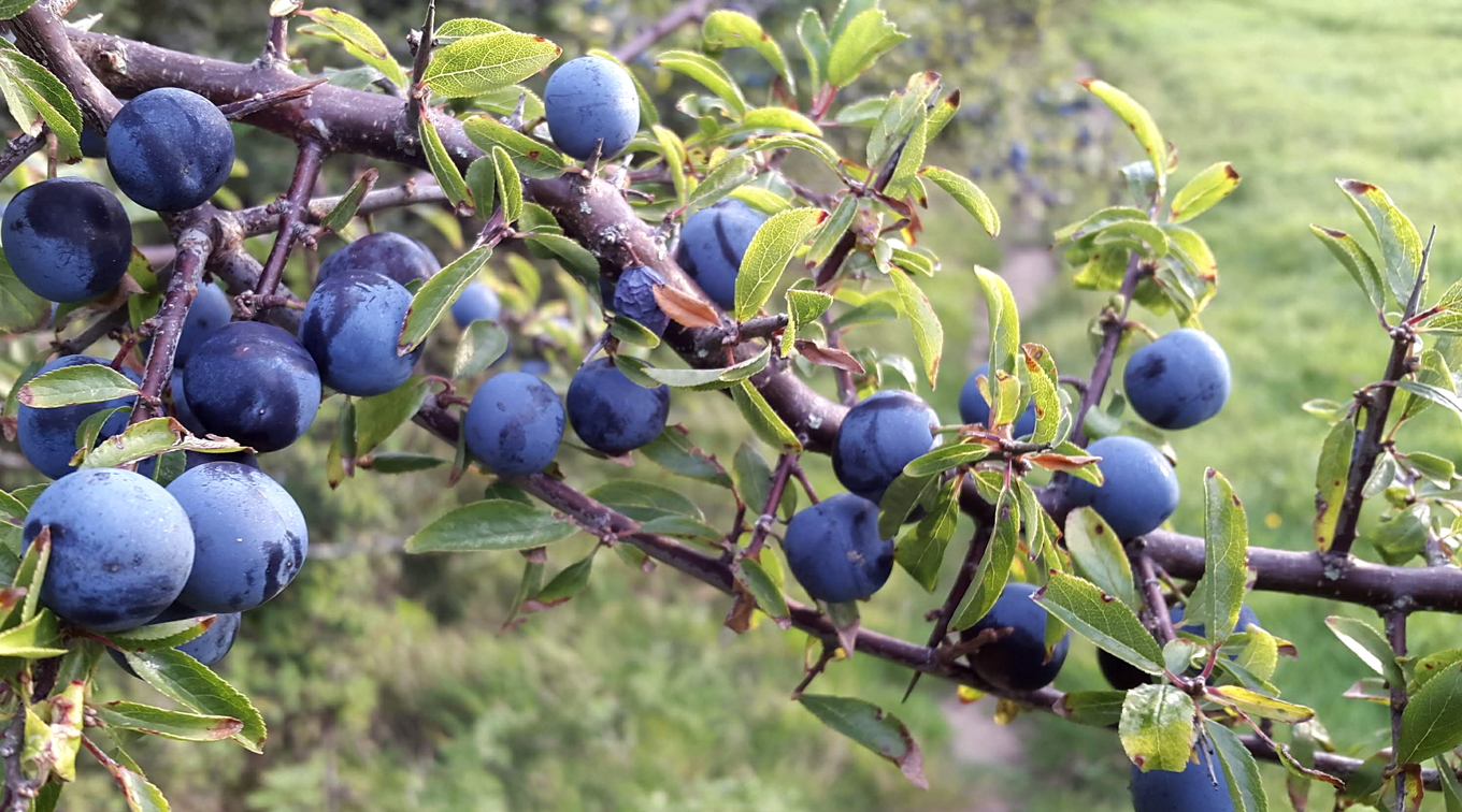 Bartenders' guide to foraging: Sloes image 1