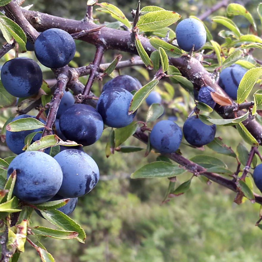 Bartenders' guide to foraging: Sloes image