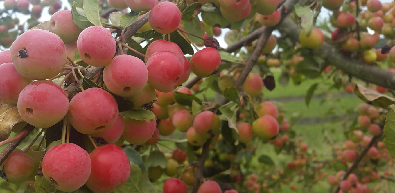 Bartenders' guide to foraging: Crab apples image 1