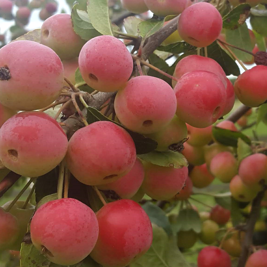 Bartenders' guide to foraging: Crab apples image