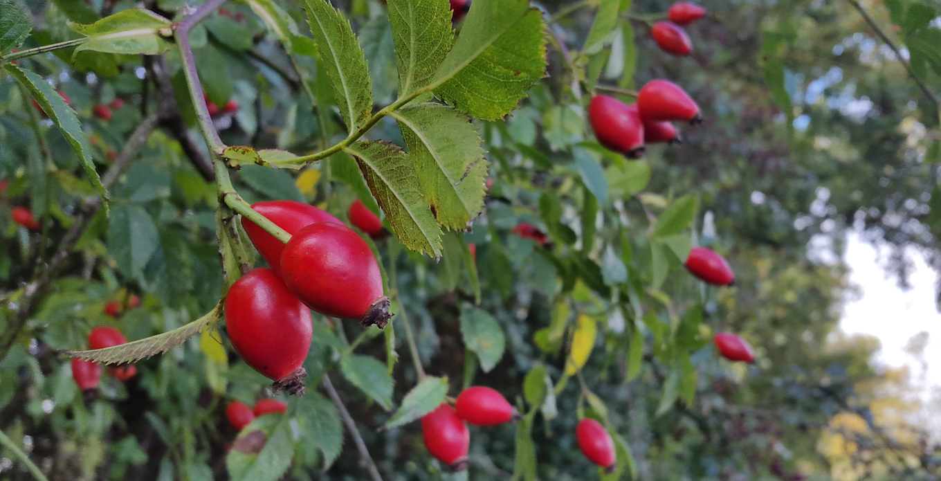 Bartenders' guide to foraging: Rose hips image 1
