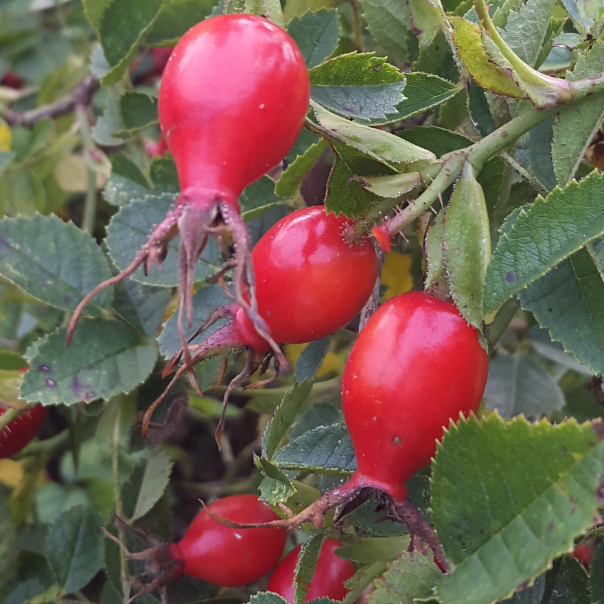 Bartenders' guide to foraging: Rose hips image