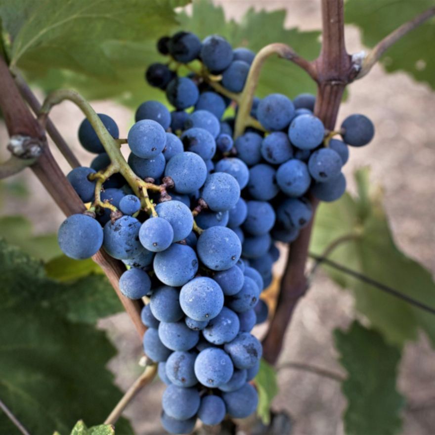 Xinomavro grape variety image