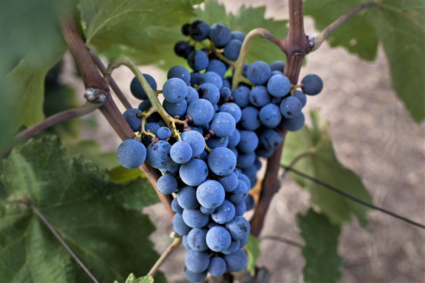 Xinomavro grape variety image 1