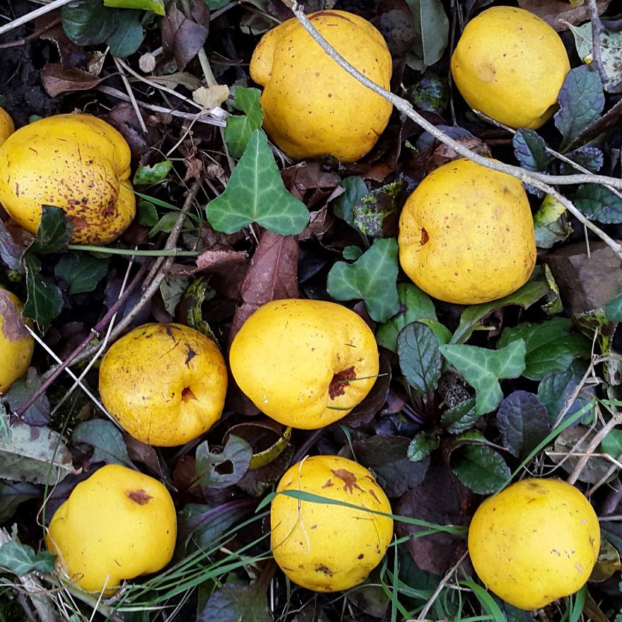 Bartenders' guide to foraging: Flowering quince image
