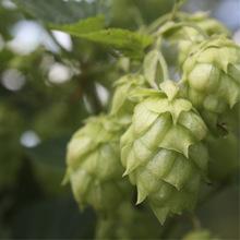 Beer eau-de-vie (bierbrand) image