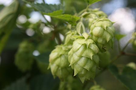 Beer eau-de-vie (eau-de-vie de bière) image 8508