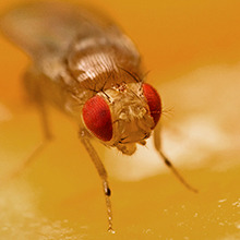 Fruit flies (Tephritidae and Drosophilidae) image