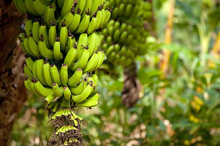 Bananas image 1