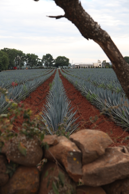 Where does tequila come from? image 1