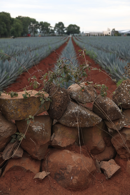 Where does tequila come from? image 5
