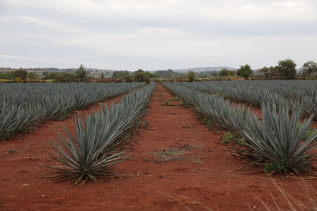 Where does tequila come from? image 4