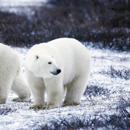 Today is Polar Bear Day image
